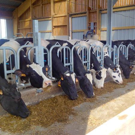 Schweden-Fressgitter für Milchkühe 1 Platz auf 1 m