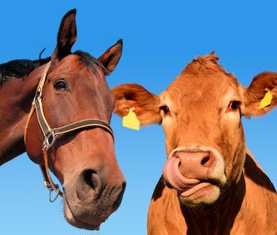 Rinder / Kühe / Pferde